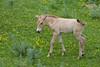 Asian Wild Horse (Equus przewalskii) Colt, Minnesota Zoo