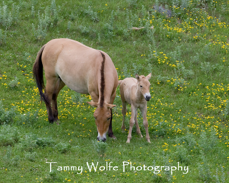 Asian Wild Horse (Equus przewalskii), Adult with Colt, Minnesota Zoo