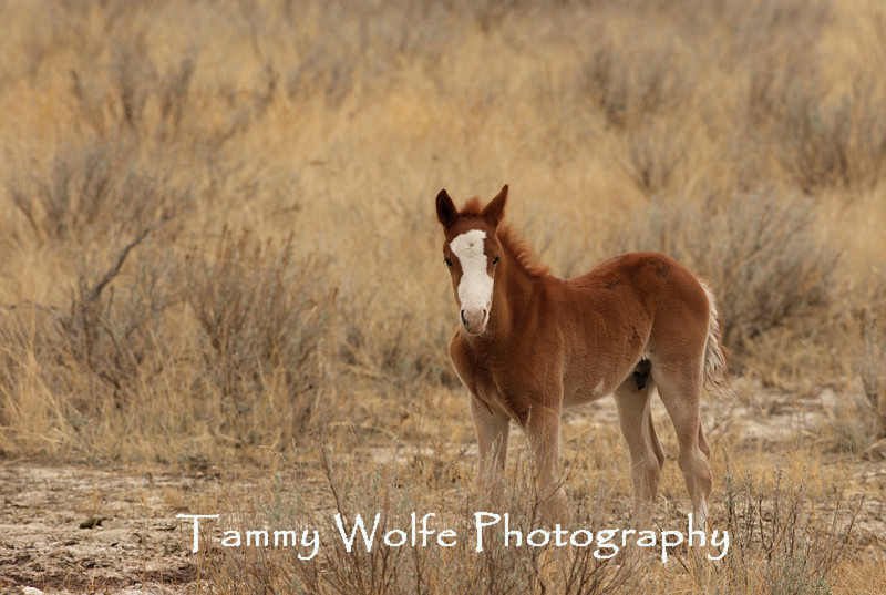 Feral (Wild) Horse Colt