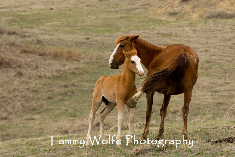 Feral Horses, Mare Kicking Colt, Theodore Roosevelt National Park