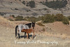 Feral (Wild) Horse with Foal