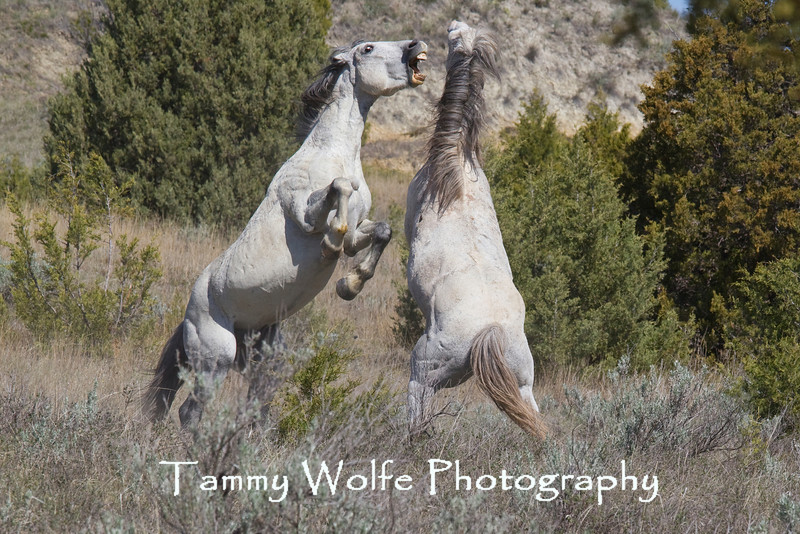 Fighting Feral (Wild) Horse Stallions, Theodore Roosevelt National Park