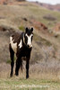 Young Stallion, Theodore Roosevelt National Park (#3473)