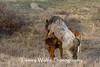 Feral Horses Mating (#6444)
