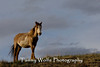 Feral (Wild) Horse