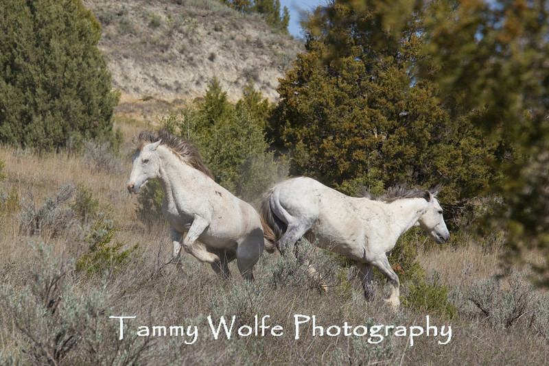 Feral (Wild) Horses, Fighting Stallions; Theodore Roosevelt National Park