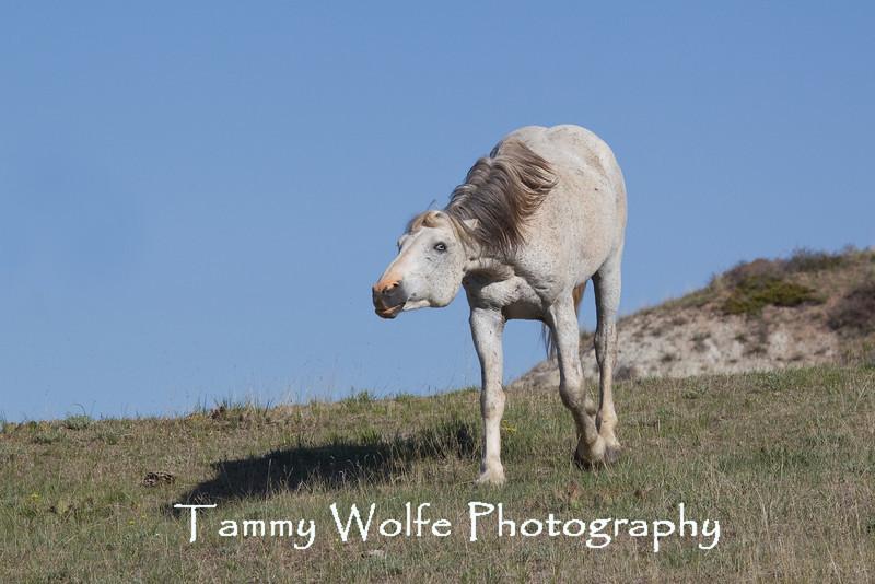 Feral (Wild) Horse Dominant Stallion Snaking, Theodore Roosevelt National Park