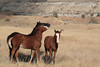 """""""Three Foals"""" Feral (Wild) Horse, Theodore Roosevelt National Park"""