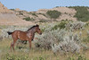 Feral (Wild) Horse Foal, Theodore Roosevelt National Park