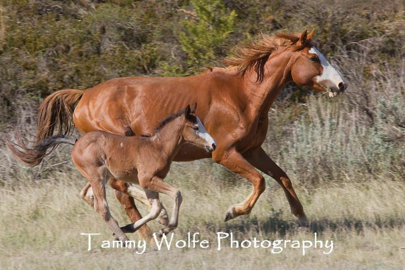 Feral (Wild) Horses Running, Theodore Roosevelt National Park