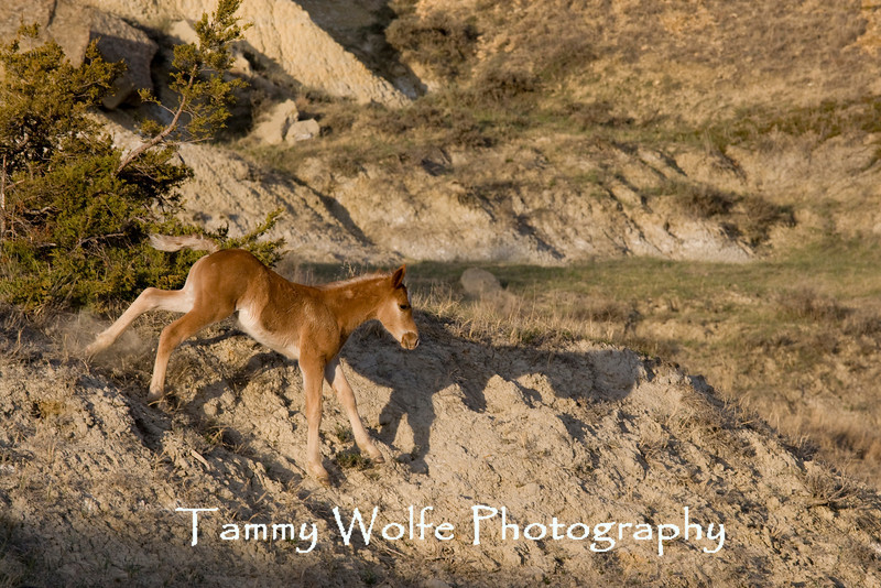 Feral (Wild) Horse Foal, Theodore Roosevelt National Park (#6406)