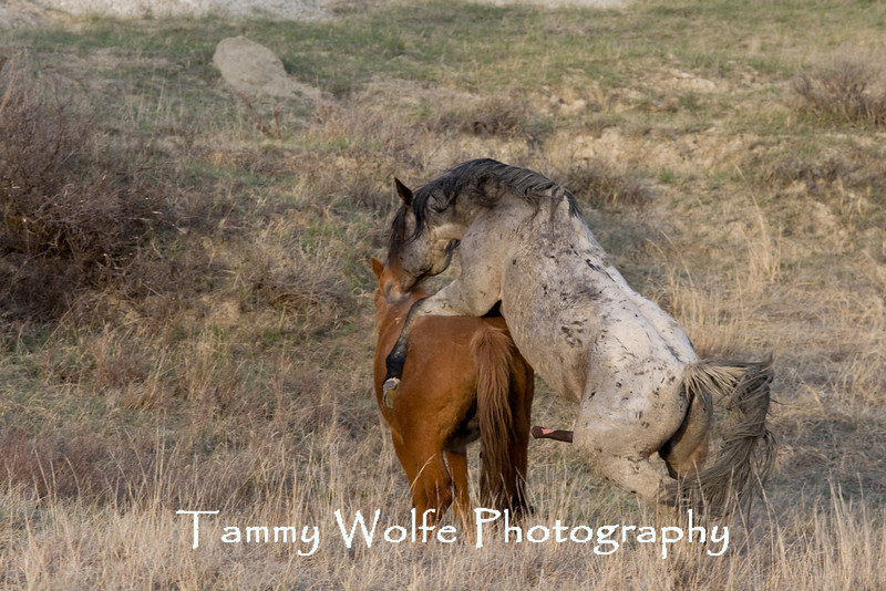 Feral (Wild) Horses Mating, Theodore Roosevelt National Park (#6441)