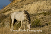 Feral (Wild) Horse, Theodore Roosevelt National Park (#6294)