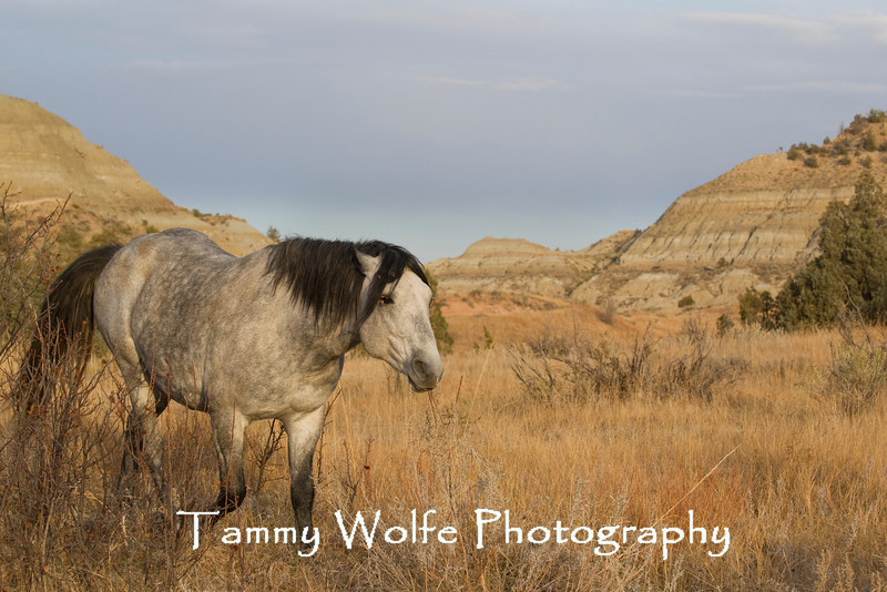 Feral (Wild) Horse, Snaking, Theodore Roosevelt National Park