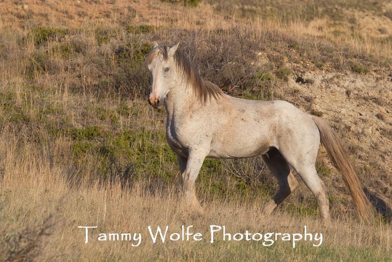 Feral (Wild) Horse, Dominant Stallion, Theodore Roosevelt National Park