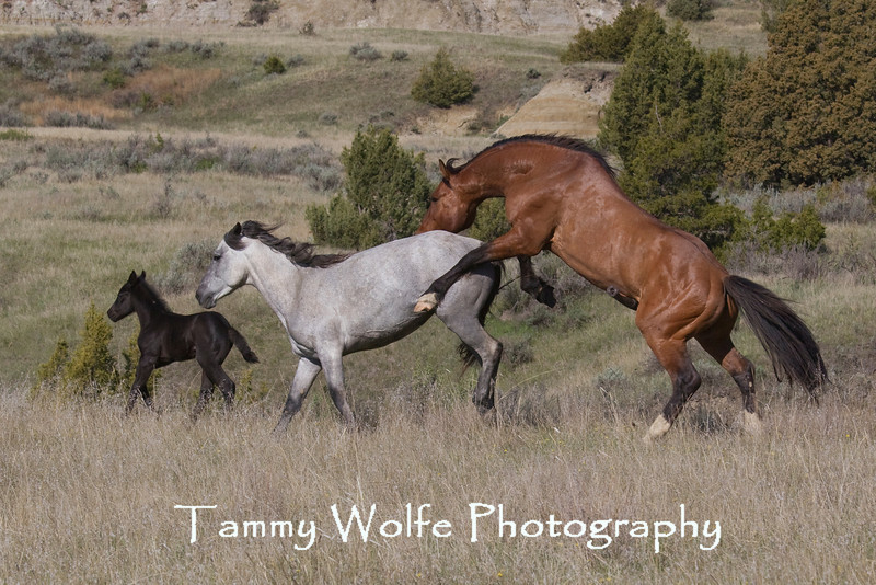 Feral (Wild) Horses Mating, Theodore Roosevelt National Park