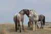 Free-Roaming Horse (Equus caballus)