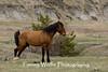 Feral (Wild) Horse displaying elimination marking behavior (#3351)
