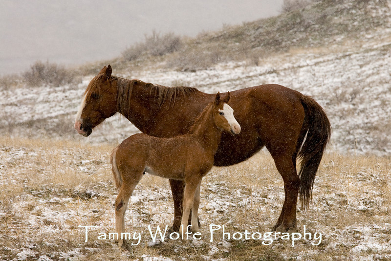 Feral (Wild) Horse Mare with Foal, Theodore Roosevelt National Park (#3005)