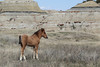 Feral (Wild) Horse, Foal; Theodore Roosevelt National Park