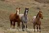 Feral (Wild) Horses (#7920)