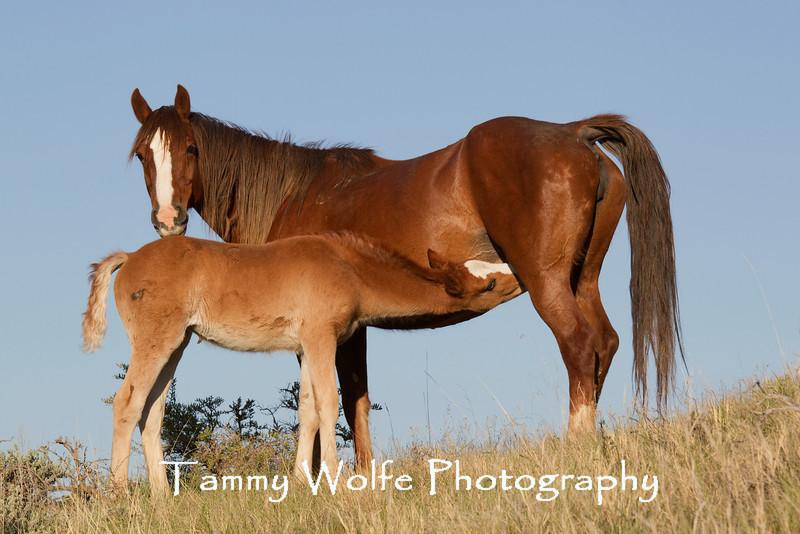 Feral (Wild) Horse Nursing, Theodore Roosevelt National Park
