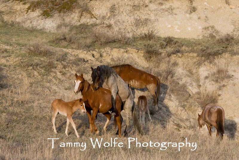 Feral (Wild) Horses Mating, Theodore Roosevelt National Park (#6477)