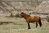 Feral (Wild) Horse (#3317)