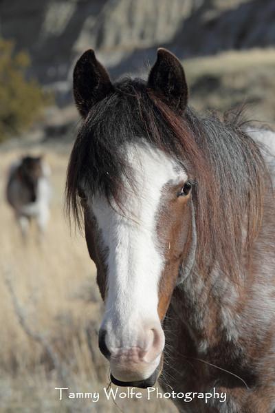 Feral (Wild) Horse Portrait, Theodore Roosevelt National Park