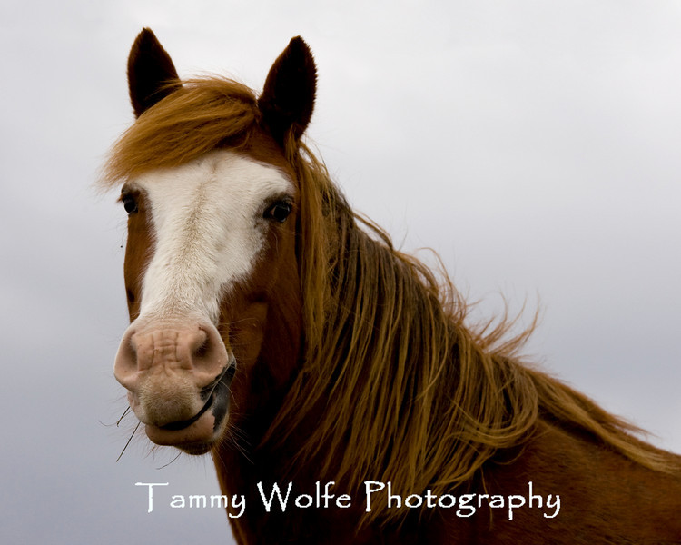 Feral (Wild) Horse, Theodore Roosevelt National Park (#7802)