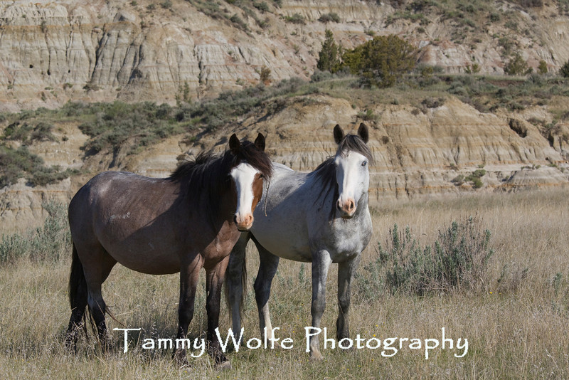 Feral (Wild) Horses, Theodore Roosevelt National Park