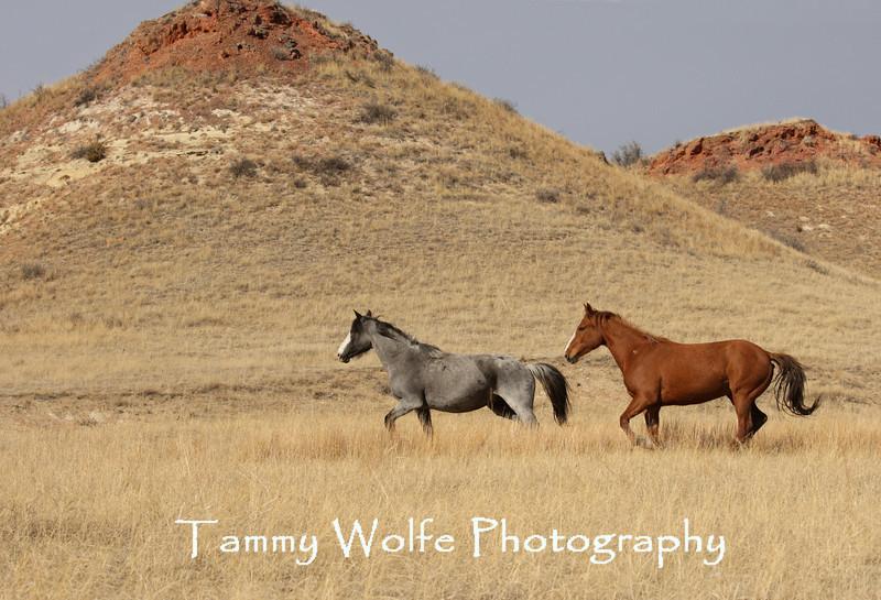 Runng Feral (Wild) Horses