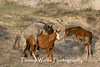Stallion and Mare Mating (#6465)