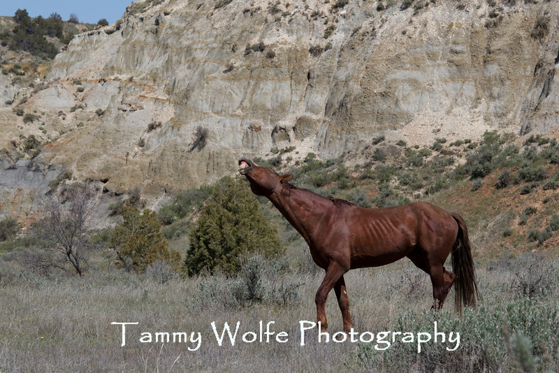 Feral (Wild) Horse Lip Curl, Theodore Roosevelt National Park