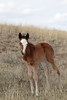 Feral (Wild) Horse, Foal with two different colored eyes, Theodore Roosevelt National Park