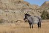 Free-Roaming Horse (Equus caballus), Theodore Roosevelt National Park, North Dakota