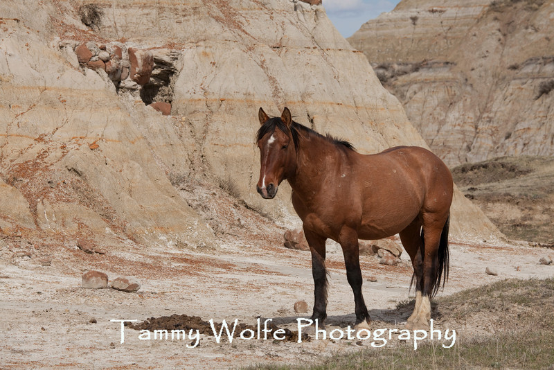 Feral (Wild) Horse, Stallion by Stud Pile, Theodore Roosevelt National Park