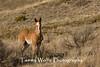 Feral (Wild) Horse Foal (#6252)