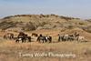 Feral (Wild) Horses