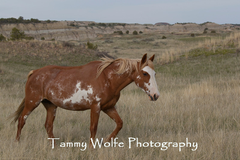 Feral (Wild) Horse, Mare; Theodore Roosevelt National Park