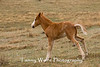 Feral (Wild) Horse Foal Peeing