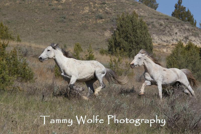 Feral (Wild) Horse, Stallion Chase, Theodore Roosevelt National Park