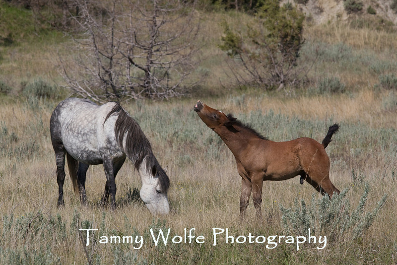 Feral (Wild) Horse, Mare and Colt, Theodore Roosevelt National Park