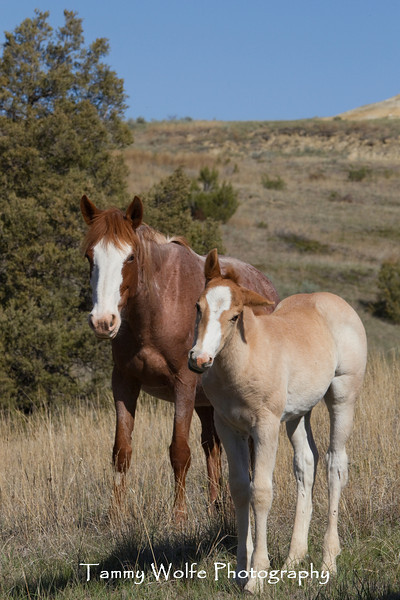 Feral (Wild) Horse, Mare with Foal; Theodore Roosevelt National Park