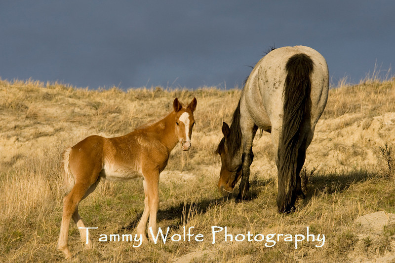 Feral Horse (Mare with Colt), Theodore Roosevelt National Park