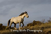 Feral (Wild) Horse (#6424)