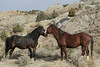 """""""Frenemies: Two Stallions"""" Feral (Wild) Horse, Theodore Roosevelt National Park"""