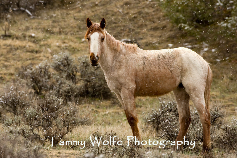 Feral (Wild) Horse, Theodore Roosevelt National Park (#3135)