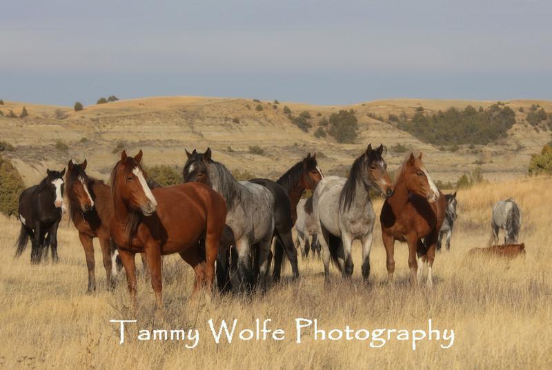 Herd of Feral (Wild) Horses
