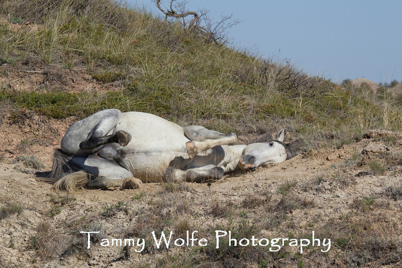 Feral (Wild) Horse, Thedore Roosevelt National Park